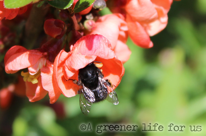 Japonica and Bees